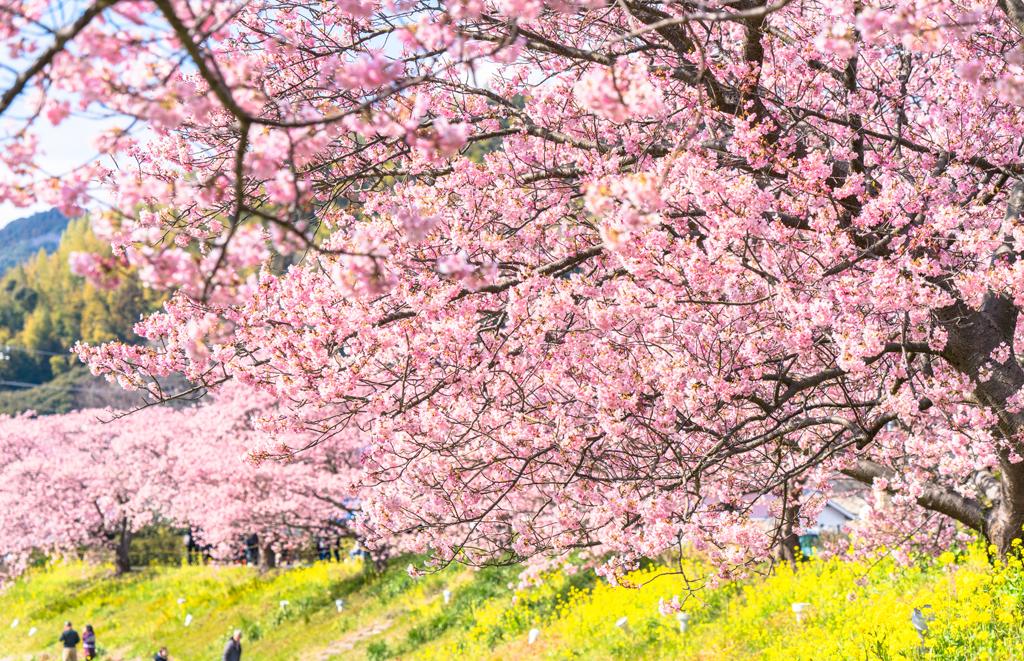 春を先取り! 「河津桜」見物は、ゆったり一泊&早めの予約がポイント