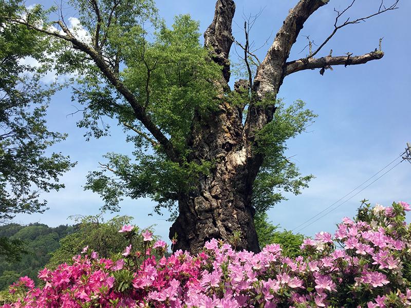 樹齢800年を超える1本の桜の木は、長野県の天然記念物「静の桜」